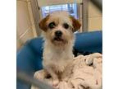 Adopt Fiji a White - with Brown or Chocolate Border Terrier / Mixed dog in
