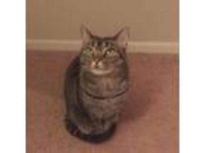Adopt Little Em a Brown Tabby Domestic Shorthair / Mixed cat in Chesterton