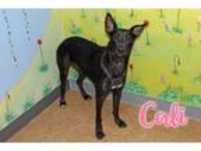 Adopt Cali a Black Shepherd (Unknown Type) / Great Dane / Mixed dog in Joliet