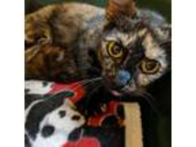 Adopt Callie a Tan or Fawn Tabby Domestic Shorthair cat in Toledo, OH (25305832)