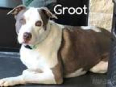 Adopt Groot a Brown/Chocolate American Pit Bull Terrier / Mixed dog in