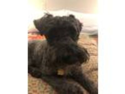Adopt Pickle a Black Kerry Blue Terrier / Mixed dog in Ardsley, NY (25889101)