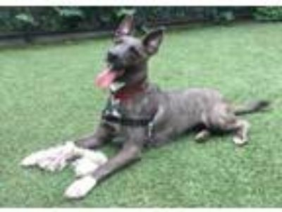 Adopt Lindy a Shepherd, Mixed Breed