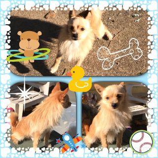 Free Sweet YorkiePom Puppy