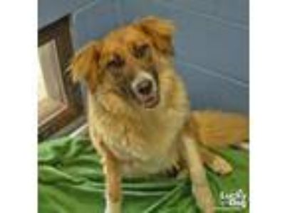 Adopt Molly a Tan/Yellow/Fawn - with White Collie / Shepherd (Unknown Type) /