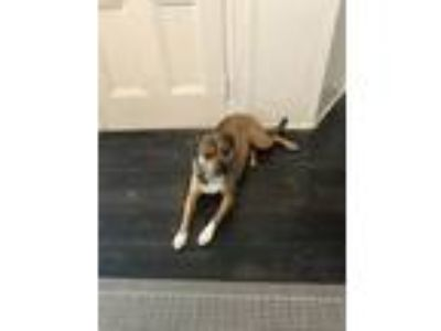 Adopt Lucy a Tan/Yellow/Fawn - with White Pug / Mixed dog in Lake Carmel