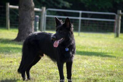 MISSING BLACK GERMAN SHEPHERD REWARD