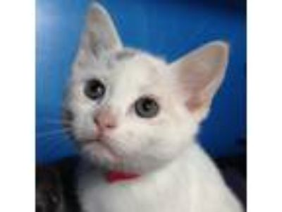 Adopt Druscilla a White Domestic Shorthair / Domestic Shorthair / Mixed cat in