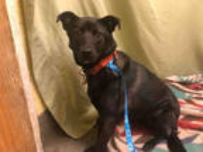 Adopt LARRY a Black - with White German Shepherd Dog / Labrador Retriever /