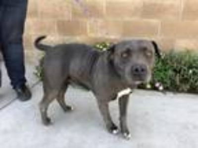 Adopt Vanity a Pit Bull Terrier, Mixed Breed