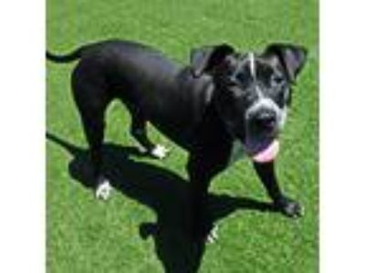 Adopt Owen a American Pit Bull Terrier / Mixed dog in Mipiltas, CA (25657488)