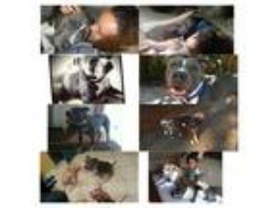 Adopt Monkey a Gray/Blue/Silver/Salt & Pepper American Pit Bull Terrier / Mixed