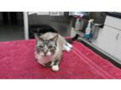 Adopt Shirley a Tan or Fawn Tabby Siamese (short coat) cat in Brightwaters,