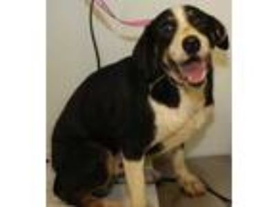 Adopt Larry a Black Beagle / Shepherd (Unknown Type) / Mixed dog in