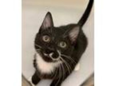 Adopt Nickle a All Black Domestic Shorthair / Domestic Shorthair / Mixed cat in