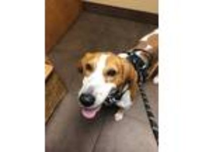 Adopt Barkley a Treeing Walker Coonhound, Mixed Breed