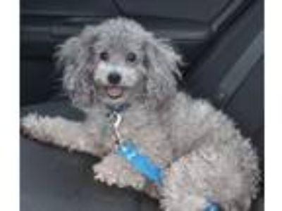 Adopt Rocco-Foster Home Needed a Poodle
