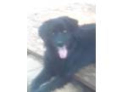 Adopt Sam a Black Labrador Retriever / Border Collie / Mixed dog in Gastonia