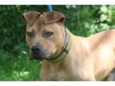 Adopt #2414 a Red/Golden/Orange/Chestnut American Pit Bull Terrier / Mixed dog