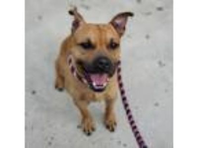 Adopt Lawson a Tan/Yellow/Fawn American Pit Bull Terrier / Boxer / Mixed dog in