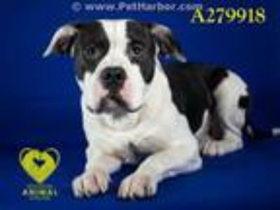 Adopt MALCOLM a Pit Bull Terrier