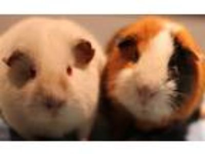 Adopt Ross and Whitey a Guinea Pig