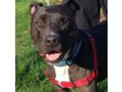 Adopt Javier a Pit Bull Terrier