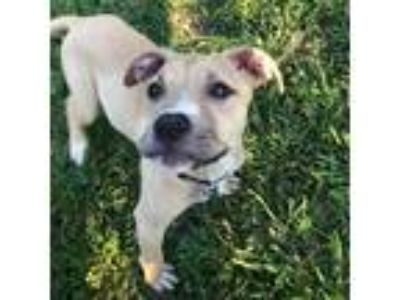 Adopt Jordan a Tan/Yellow/Fawn - with White Boxer / Labrador Retriever / Mixed