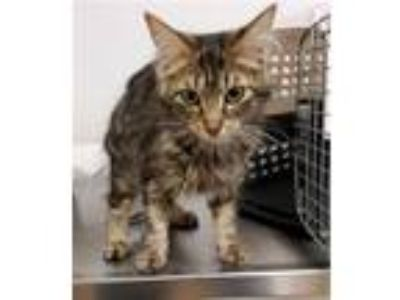 Adopt SADIE a Domestic Long Hair