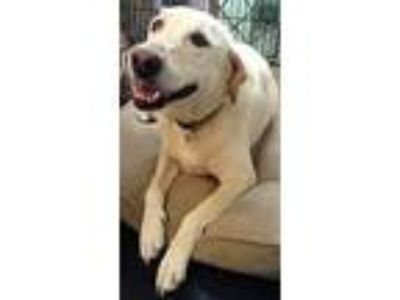 Adopt Luna a Labrador Retriever / Mixed dog in Clinton, SC (25904829)