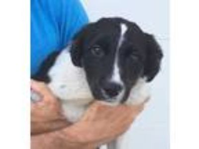 Adopt Peaches a Black Border Collie / Mixed dog in Bloomingdale, IL (25335451)