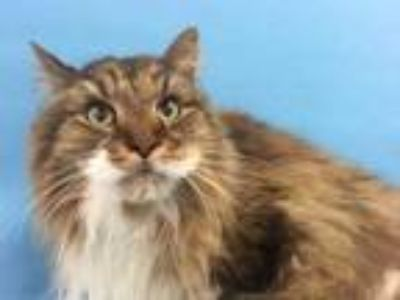 Adopt TJ a Brown or Chocolate Domestic Longhair / Mixed cat in Golden Valley