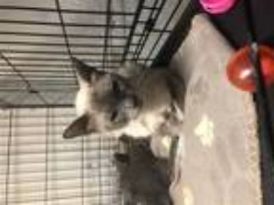 Adopt Sammy a Domestic Shorthair / Mixed cat in Lake Jackson, TX (25657860)