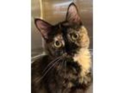 Adopt Edna a Domestic Shorthair / Mixed cat in Bemidji, MN (25905258)