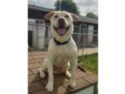 Adopt Moose a Tan/Yellow/Fawn Labrador Retriever / Mixed dog in Altoona