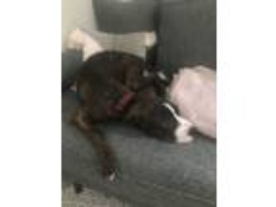 Adopt Chandler a Brindle American Pit Bull Terrier dog in Baltimore