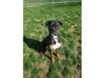 Adopt Diesel a Black Boxer / Mixed dog in Chambersburg, PA (25268454)