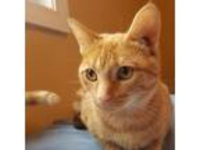 Adopt Marigold a Orange or Red Domestic Shorthair cat in Pendleton