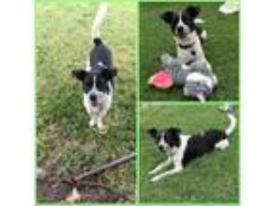 Adopt Luther a Black - with White Jack Russell Terrier / Mixed dog in Waco