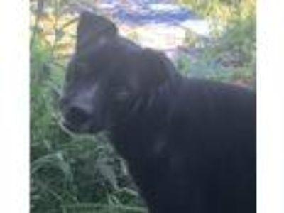 Adopt Alvin a Black - with White Labrador Retriever / Mixed dog in Rutledge