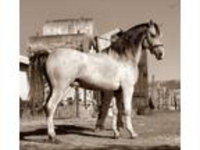 El Shaklan Carmargue Working Cow bred Arabian