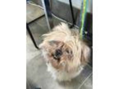 Adopt Perry a Tan/Yellow/Fawn Shih Tzu / Mixed dog in Georgetown, TX (25866137)