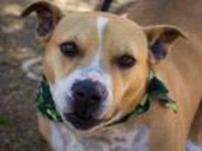 Adopt CHICKEN a American Staffordshire Terrier, Mixed Breed