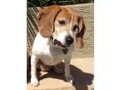 Adopt Macy a Tan/Yellow/Fawn - with White Beagle / Mixed dog in Tempe