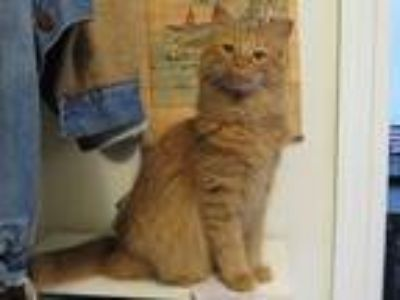 Adopt Tiger a Orange or Red Domestic Longhair (long coat) cat in Chicago