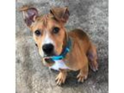 Adopt Ron a Pit Bull Terrier