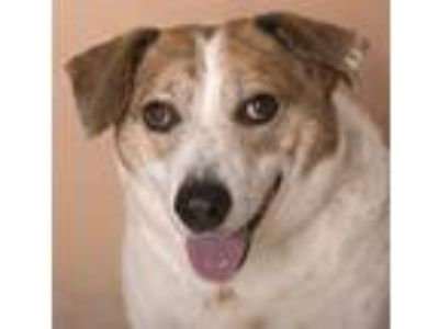 Adopt Skippy a Australian Cattle Dog / Blue Heeler
