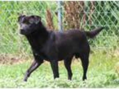 Adopt Teddy a Black Labrador Retriever / Terrier (Unknown Type