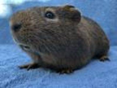 Adopt Jericho a Golden Guinea Pig small animal in Imperial Beach, CA (25646183)