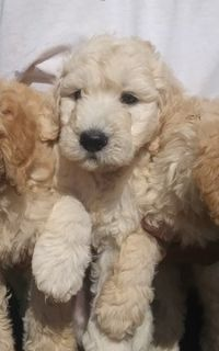 Goldendoodle (Miniature) PUPPY FOR SALE ADN-84573 - MINI GOLDENDOODLE PUPPIES toy to med size